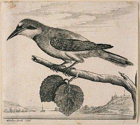 Wenzel Hollar: Eichelhäher auf einem Zweig. 1646. Bezeichnet unten links: 'WHollar fecit, 1646.'