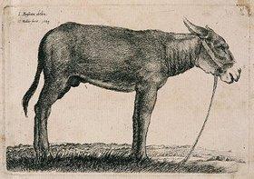 Wenzel Hollar: Esel