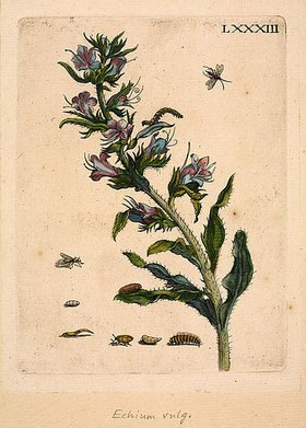 Anna Maria Sibylla Merian: Echium vulgare