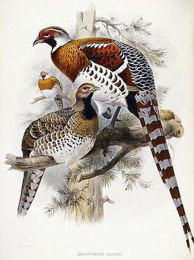 Joseph Wolf: Elliotfasan (Calophasis Ellioti). Aus 'A Monograph of the Tetraoninae, or family of the Grouse', von Daniel Girard Elliot (tätig 1860-1877). New York