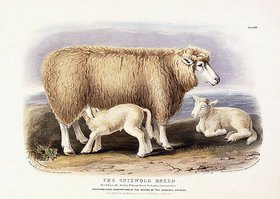 William Shiels: The Cotswold Breed, Ewe, 8 years old. Aus 'The Breeds of Domestic Animals of the British Islands', von David Low (1786-1859). London