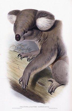 Englisch: Koala (Phascolarctos cinereus). Aus 'The Mammals of Australia'. John Gould (1804-1881) und Henry Constantine Richter (1821-1902). London