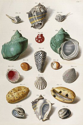Franz Michael Regenfus (Regenfuss): Verschiedene Muscheln. Aus 'Auserlesene Schnecken, Muscheln und andre Schaaltiere' / 'Choix de Coquillages et de Crustaces', (Text in deutsch und französisch). Kopenhagen