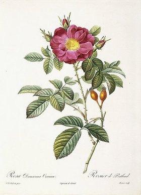 Pierre Joseph Redouté: Rosa Damascena Coccina (Portland-Rose). Aus 'Les Roses'. Paris