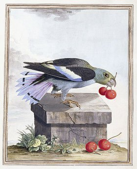 Peter Brown: Tafel VIII (Vogel mit Kirschen). Aus 'New Illustrations of Zoology, containing fifty coloured plates of new, curious, and non-descript birds, with a few quadrupeds, reptiles and insects'. London