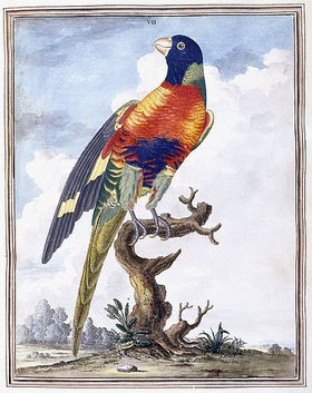 Peter Brown: Tafel VII (eines exotischen Vogels). Aus 'New Illustrations of Zoology, containing fifty coloured plates of new, curious, and non-descript birds, with a few quadrupeds, reptiles and insects'. London
