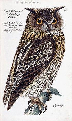 Deutsch: Eule. Aus 'Vorstellung der Vögel Deutschlandes und beylaufig auch einiger Fremden, nach ihren Eigenschaften beschrieben', von Johann Leonhard Frisch (1666-1743). Berlin