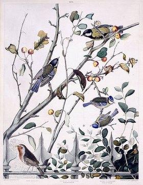 George Shield: Rotkehlchen, Kohlmeisen (Männchen und Weibchen) und Blaumeisen (Männchen und Weibchen)