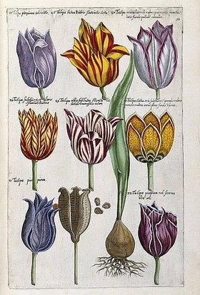 Emanuel Sweert: Verschiedene Tulpen. Aus 'Florilegium amplissimum et selectissimum'. Frankfurt