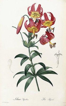 Pierre Joseph Redouté: Lilium Superbum. Lis Superbe (Türkenbundlilie). Aus: 'Les Liliacees'. Erschienen bei Didot, Paris