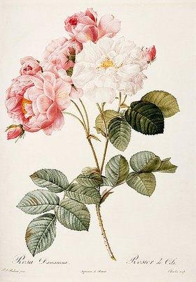 Pierre Joseph Redouté: Damaszenerrose (Rosa Damascena). Aus: 'Les Roses'