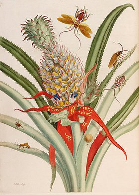 Anna Maria Sibylla Merian: Ananas mit Insekten. Aus: 'Metamorphosis Insectorum Surinamensium'