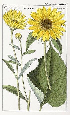 David Nathanael Friedrich Dietrich: Sonnenblume (Helianthus). Aus: 'Flora Universalis'. Jena