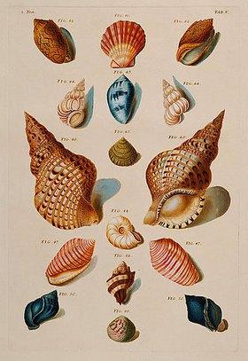 Franz Michael Regenfus (Regenfuss): Muscheln. Aus: 'Choix de Coquillages et de Crustaces'