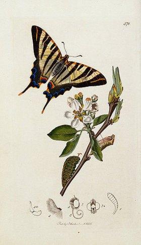 John Curtis: Ein seltener Schwalbenschwanz (Iphiclides podalirius) auf einer Birnenblüte (Pyrus communis). Tafel 758 aus: 'British Entomology'. London