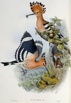 John Gould: Upupa Epops (Wiedehopf). Aus: 'The Birds of Great Britain'