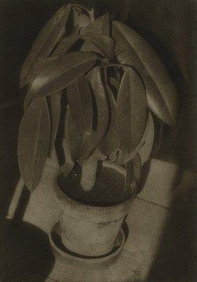 Heinrich Kühn: Ohne Titel (Gummibaum)