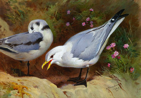 Archibald Thorburn: Möwen (Kittywake Gulls)