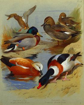 Archibald Thorburn: Stockente, Rostgans, Brandgans