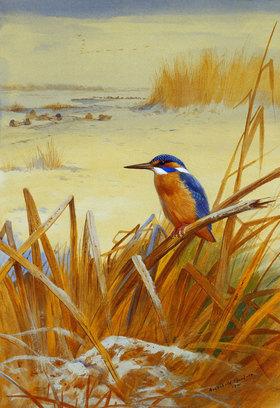 Archibald Thorburn: Ein Eisvogel im Schilf