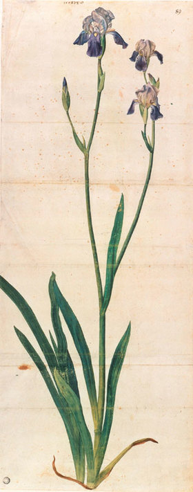 Albrecht Dürer: Blau blühende Schwertlilie - Iris Germanica (Iris Trojana?)