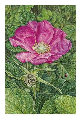Christina Kraus: Kartoffelrose (rosa rugosa)