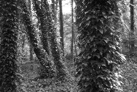 Günter Kozeny: Irland; Coast Redwood von Efeu umrankt