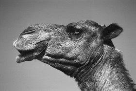 Günter Kozeny: Marokko; Kamel