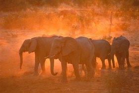 Günter Kozeny: Namibia, Elefanten auf dem Weg zur Wasserstelle in der Etosha-Pfanne
