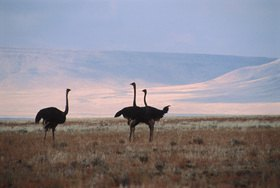 Günter Kozeny: Namibia; Straußenvögel