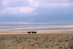 Günter Kozeny: Namibia; Straußentrio