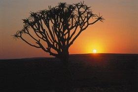 Günter Kozeny: Namibia; Köcherbaum im Sonnenuntergang
