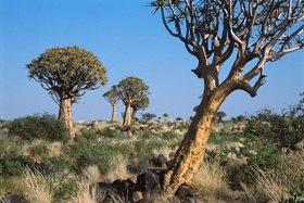 Günter Kozeny: Namibia; Köcherbaumwald nähe Keetmanshoop