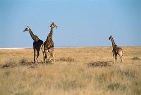 Günter Kozeny: Namibia; Etosha-Pfanne Giraffen-Eltern mit Jungtier