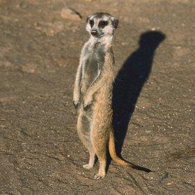 Günter Kozeny: Namibia; Erdmännchen