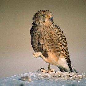 Günter Kozeny: Namibia; Falke in der Eosha-Pfanne