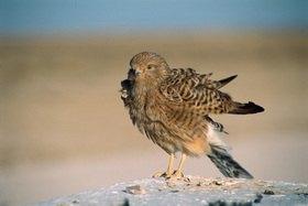 Günter Kozeny: Falke; Etosha Nationalpark, Namibia