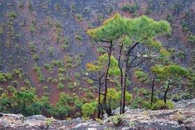 Günter Kozeny: Canaren; La Palma; Kiefernbäume im Vulkankrater