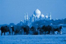 Günter Kozeny: Indien; Büffelherde am Yamuna Ufer