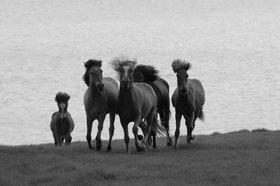 Günter Kozeny: Island; Islandpferde