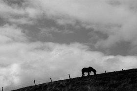 Günter Kozeny: Island; Grasendes Pferd