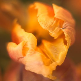 Günter Kozeny: Tulpe