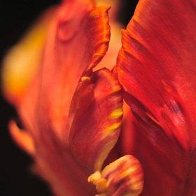 Günter Kozeny: Tulpenblüte