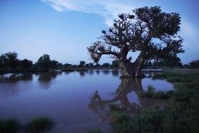 Horst A. Friedrichs: Africa Mali Segou Baobab tree