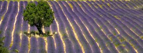 Tree in the lavender field, Provence, Alpes Cote d Azur, France