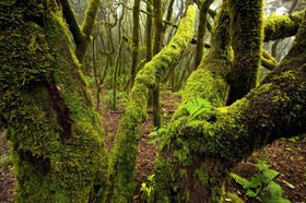 Trees in the nebulous wood of the Parque Nacional de Garajonay, La Gomera, Canary islands, Spain