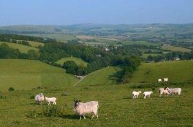 Schafe bei Litton Cheney bei Dorchester, Südengland, Grossbritannien