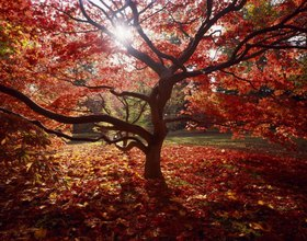 Maple tree in the Westonbirt Arboretum, Gloucestershire, England, Great Britain