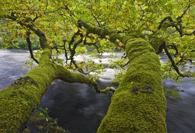 Tree by the river, Argyll region, Scotland, Great Britain
