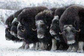 Moschusochsen, Alaska, USA